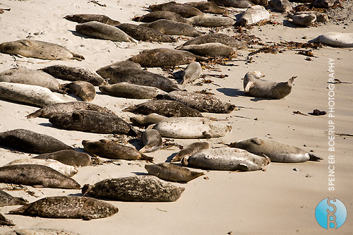 Seals on Cypress Beach